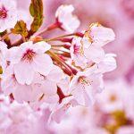 桜の花の秘められたパワー