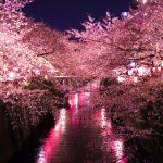 【沈静】桜の癒し効果とは?【幻覚】