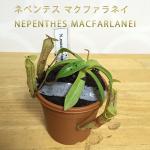 【魅惑の食虫植物】ネペンテス マクファラネイ(NEPENTHES MACFARLANEI)を買ってみた!